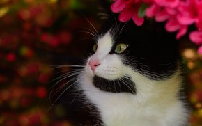 Picture cat, cat, face, flowers, background, black and white, portrait, garden, bright, Kote, green-eyed, bokeh, handsome, …