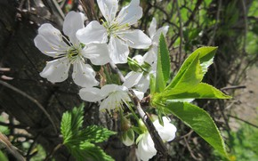 Picture macro, flowers, cherry, April, spring 2018, Mamala ©