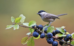 Picture berries, bird, branch, tit