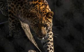 Picture face, predator, grille, wild cat, looks, zoo, the Amur leopard