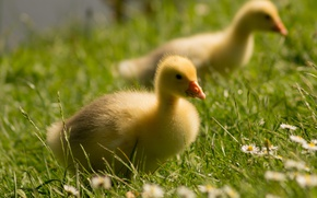 Picture field, summer, grass, flowers, birds, shore, chamomile, meadow, kids, a couple, lawn, Chicks, goose, geese, …