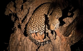 Picture night, tree, leopard