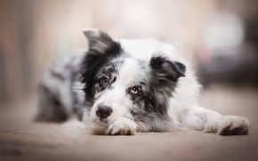 Picture sadness, dog, bokeh, the border collie