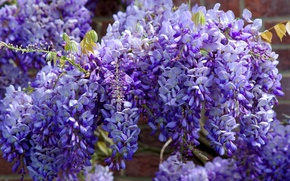 Picture flowers, branches, spring, garden, purple, flowers, flowering, a lot, lilac, blooming, flora, Wisteria, Wisteria, cascade