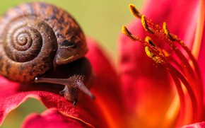 Picture flower, macro, background, Lily, snail, blur, petals, shell, stamens, red