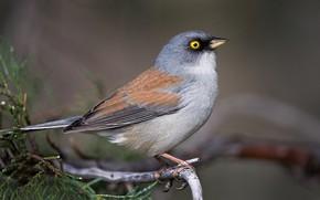 Picture bird, beak, tail, yellow-eyed Junco