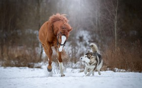 Picture snow, horse, dog, running, husky
