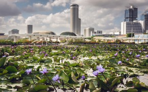 Wallpaper City, Waterlilies, Bokeh, Singapore