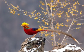 Picture bird, tail, gold, pheasant
