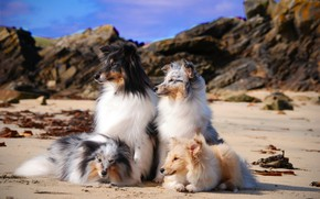 Picture sea, dogs, coast, group, pussies