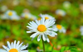 Picture Spring, Daisy, Camomile