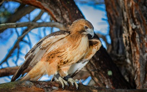 Picture bird, predatory, Red-tailed Buzzard