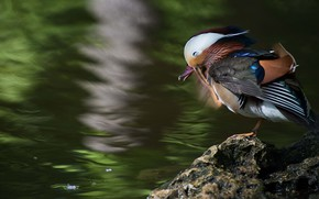 Picture nature, pond, bird, duck, pond, bright plumage, tangerine
