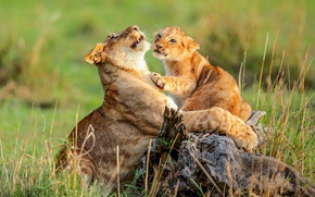 Picture cat, grass, Africa, kitty, lioness, mom, lion, wild