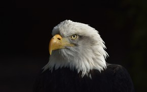 Picture Eagle, Black, White, American, Сoat of arms