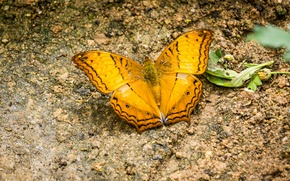 Picture black, nature, yellow, butterfly, insect, highland, malaysia, cameron, cameron highland