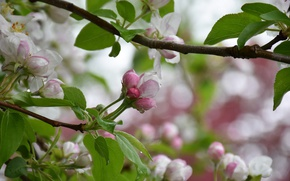 Picture tree, spring, Apple