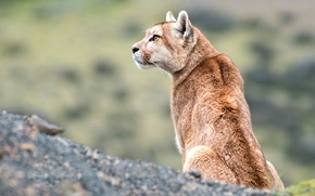 Picture look, profile, Puma, wildlife