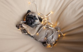 Picture puppy, look, Christmas lights