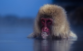 Picture water, muzzle, monkey, Japanese macaques