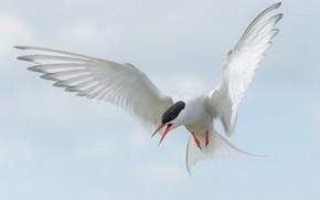 Picture flight, bird, wings, beak, tail, Arctic tern