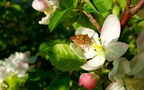Picture Spring, Flowering, Apple-blossom