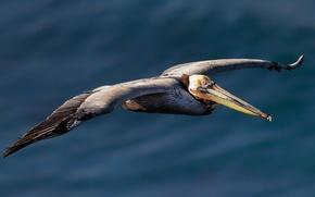 Picture birds, flight, Pelican, American brown Pelican