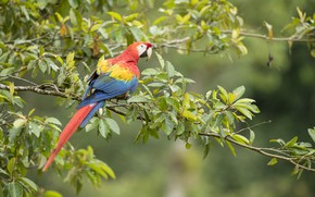 Wallpaper branches, Ara, Parrot, nature, bird, stay, tree