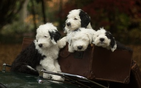 Picture dogs, puppies, suitcase, Quartet, Bobtail, The old English Sheepdog