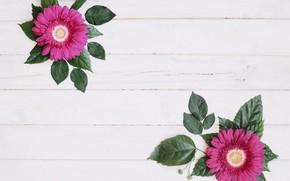 Picture gerbera, flowers, leaves