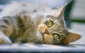 Picture cat, cat, look, muzzle, Maine Coon