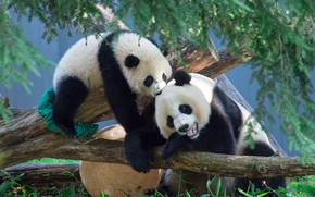 Picture branches, tree, pair, bears, Panda