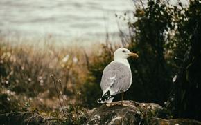 Picture sea, bird, seagull