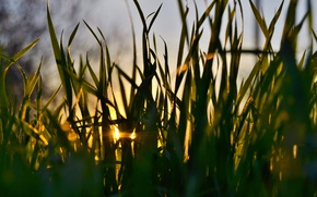 Picture grass, macro, sunset