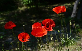 Picture Spring, Spring, Red Poppies, Red poppies