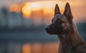 Wallpaper look, light, dog, bokeh, Belgian Malinois