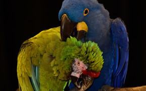 Picture birds, parrots, by Nushaa