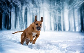 Wallpaper Rhodesian Ridgeback, walk, winter, snow, running, dog