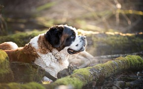 Picture dog, dog, St. Bernard