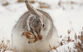 Picture snow, nature, hare