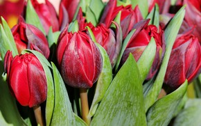 Picture flowers, spring, Tulips, buds