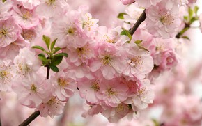 Picture flowers, branches, nature, cherry, tree, spring, garden, Sakura