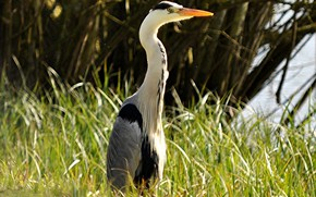 Picture grass, neck, grey Heron, bird beak