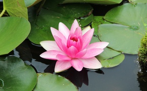 Picture green, flower, water, water Lily