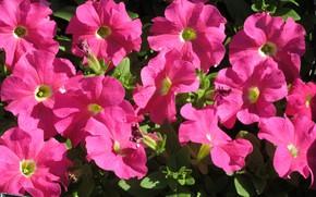 Picture bright, pink, petunias, spring 2018, Mamala ©