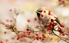 Picture the sun, nature, berries, bird, branch, bokeh, the Waxwing