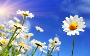 Wallpaper spring, the sky, the sun, chamomile, spring, flowers