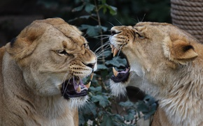 Picture mouth, fangs, conflict, lioness