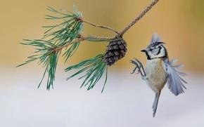 Wallpaper bird, France, branch, bump, pine, crested tit