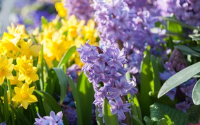 Picture spring, daffodils, bokeh, hyacinths